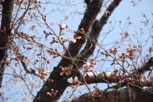 こあ 桜のつぼみ
