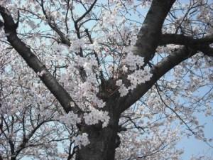 桜 過去の UP